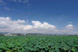 山口県HP岩国レンコン